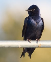 events-landmark-purple-martin